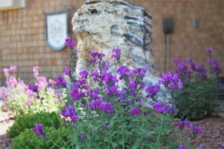 Purple Greggii Salvia