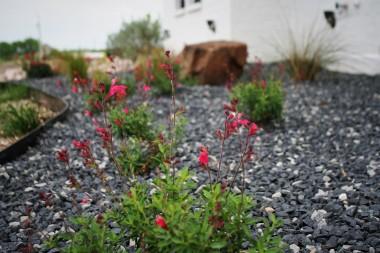 Greggii Salvia in Black Star Gravel